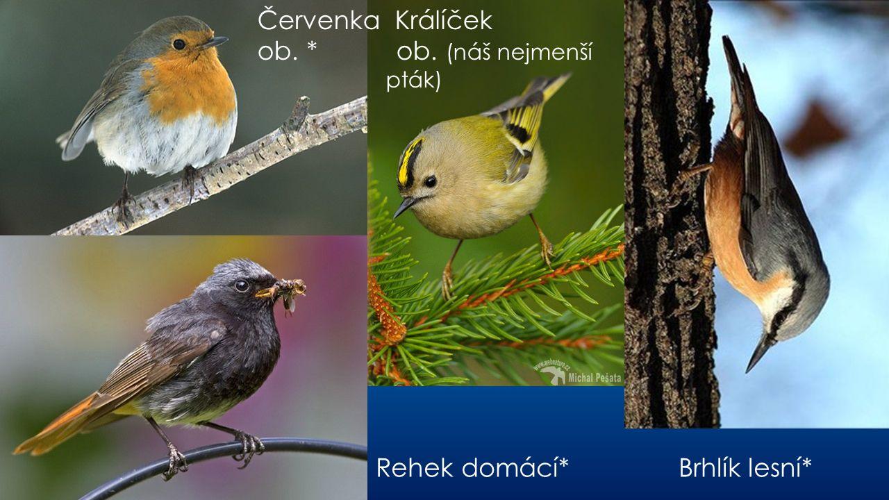 B Rehek domácí* Brhlík lesní* Červenka Králíček ob. * ob. (náš nejmenší pták)