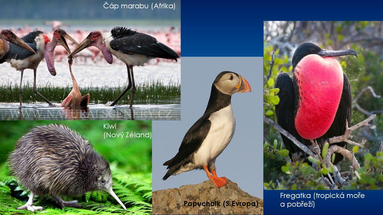 Čáp marabu (Afrika) Kiwi (Nový Zéland) Papuchalk (S Evropa) Fregatka (tropická moře a pobřeží)