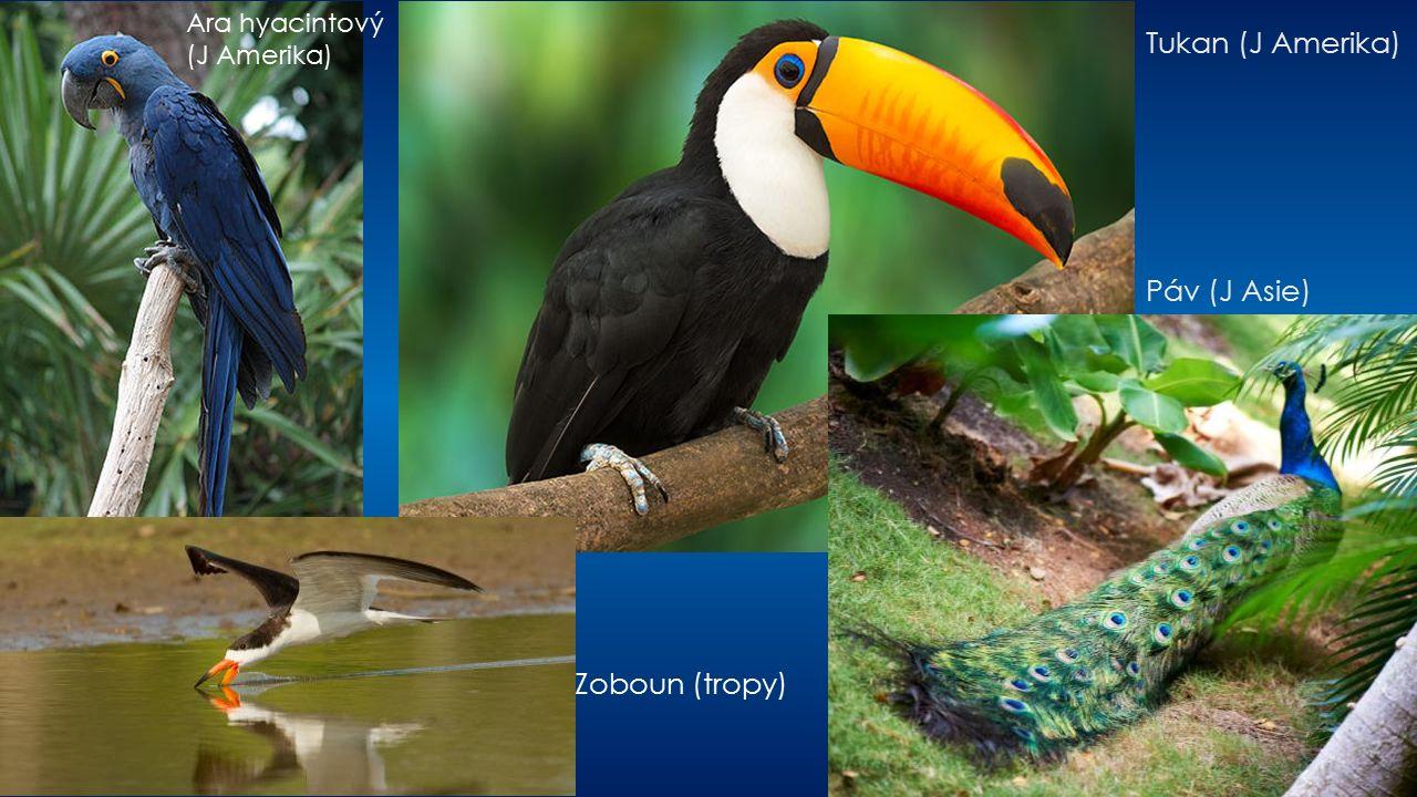 Tukan (J Amerika) Páv (J Asie) Zoboun (tropy) Ara hyacintový (J Amerika)