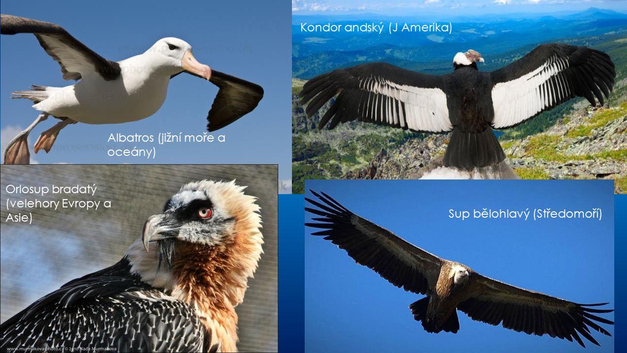 Albatros (jižní moře a oceány) Orlosup bradatý (velehory Evropy a Asie) Kondor andský (J Amerika) Sup bělohlavý (Středomoří)