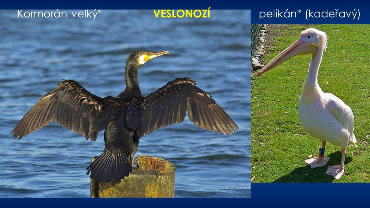 Kormorán velký* VESLONOZÍ pelikán* (kadeřavý)