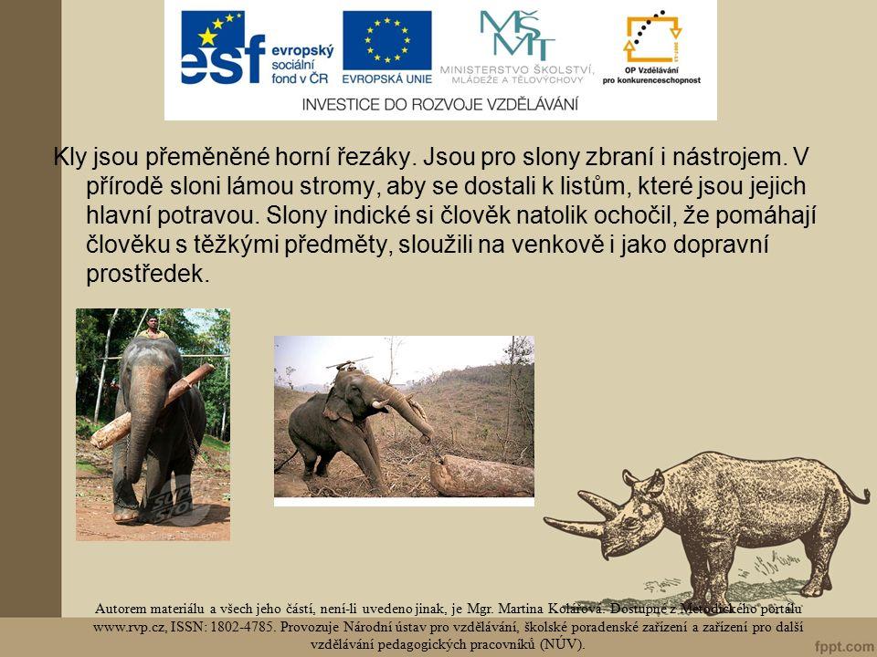 Kly jsou přeměněné horní řezáky.Jsou pro slony zbraní i nástrojem.