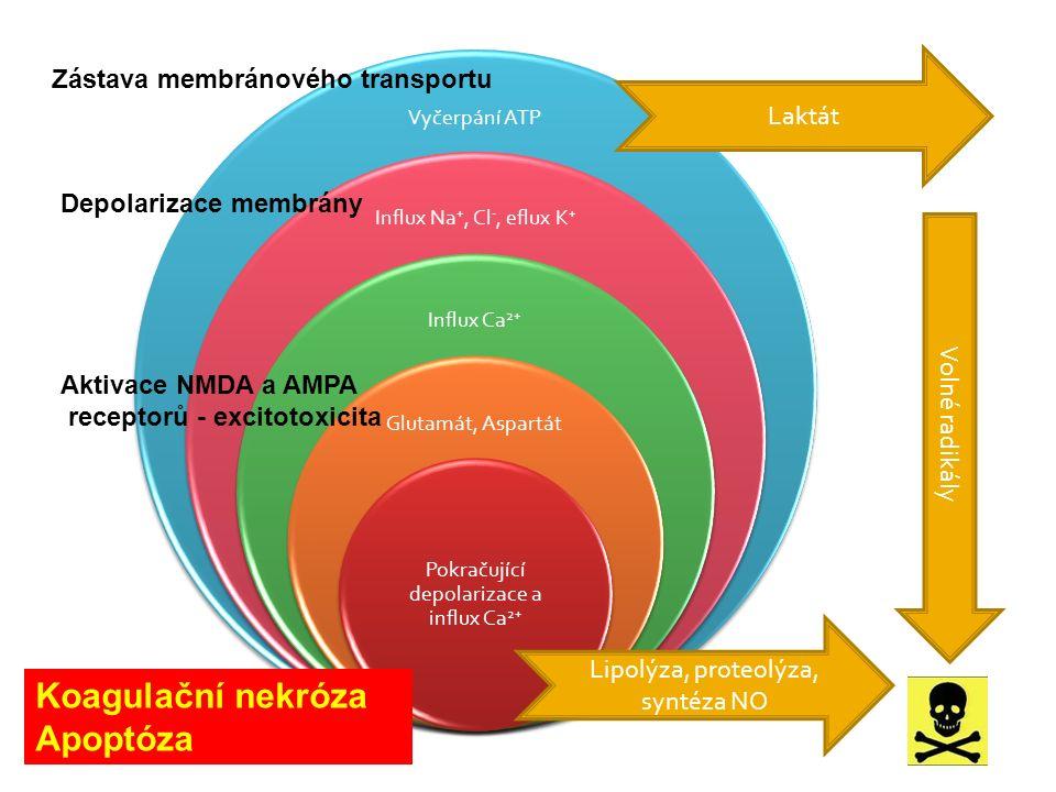 Vyčerpání ATP Influx Na +, Cl -, eflux K + Influx Ca 2+ Glutamát, Aspartát Pokračující depolarizace a influx Ca 2+ Zástava membránového transportu Aktivace NMDA a AMPA receptorů - excitotoxicita Depolarizace membrány Lipolýza, proteolýza, syntéza NO Laktát Volné radikály Koagulační nekróza Apoptóza