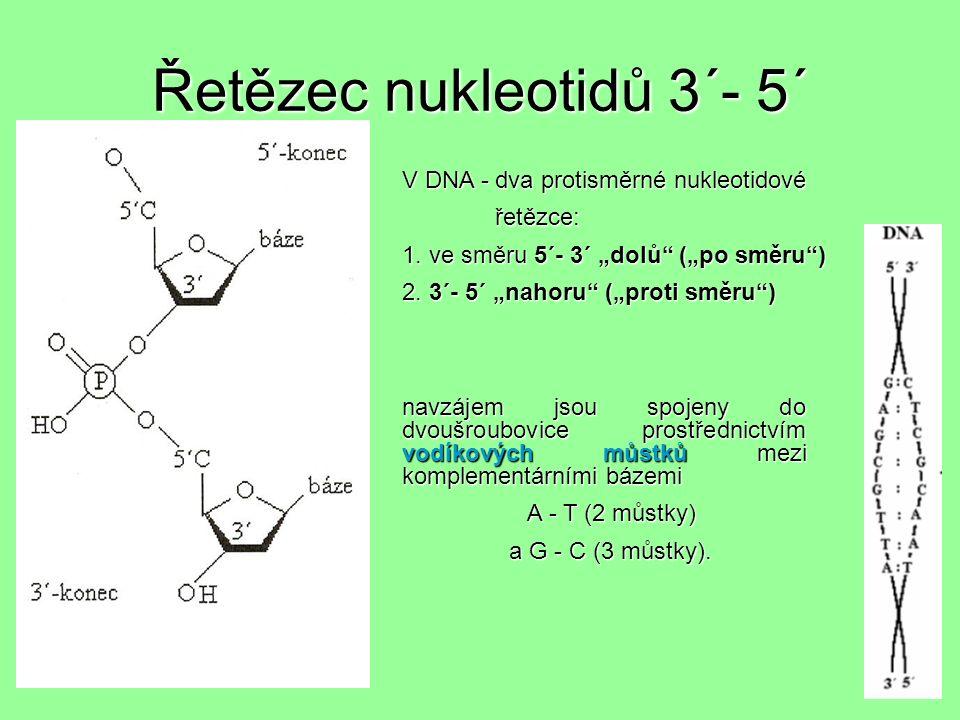 Řetězec nukleotidů 3´- 5´ V DNA - dva protisměrné nukleotidové řetězce: řetězce: 1.