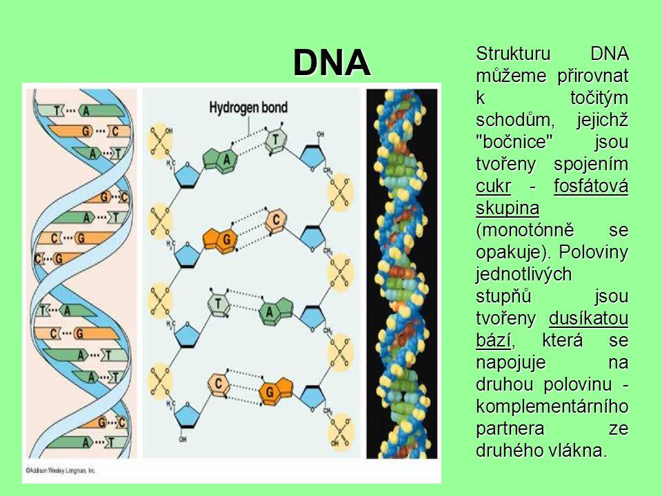 DNA Strukturu DNA můžeme přirovnat k točitým schodům, jejichž bočnice jsou tvořeny spojením cukr - fosfátová skupina (monotónně se opakuje).