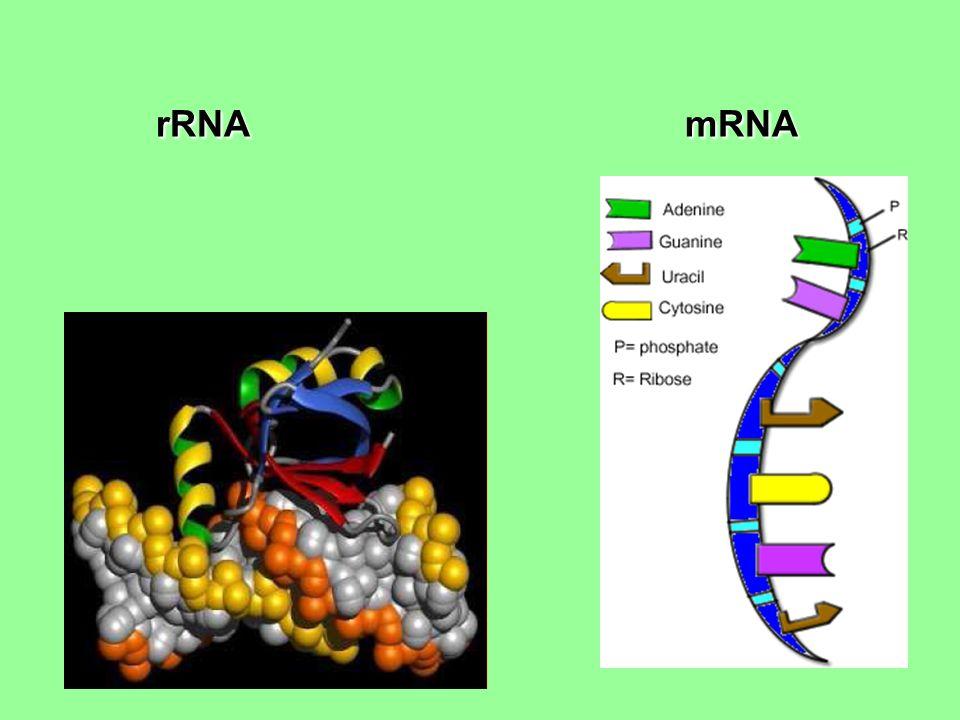 rRNA mRNA rRNA mRNA