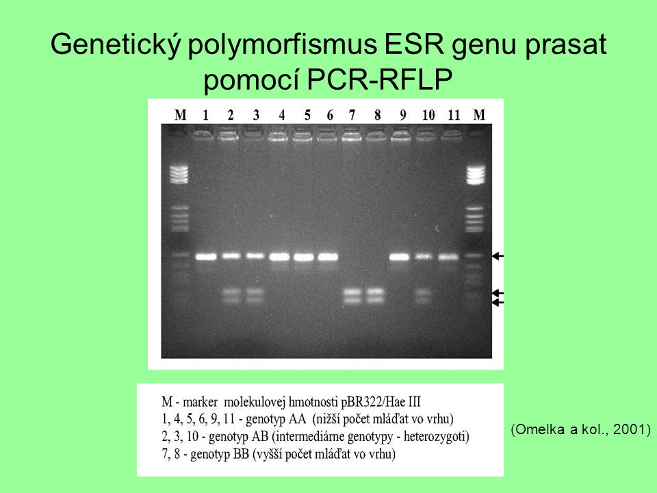 Genetický polymorfismus ESR genu prasat pomocí PCR-RFLP (Omelka a kol., 2001)