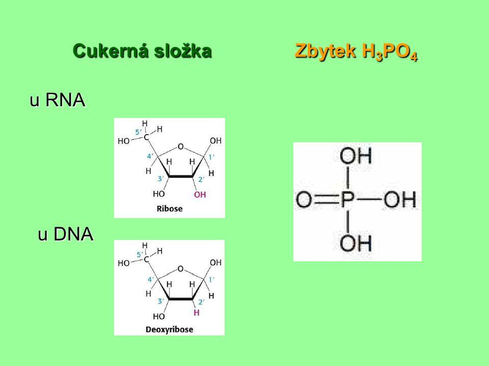 Cukerná složka Zbytek H 3 PO 4 u RNA u DNA