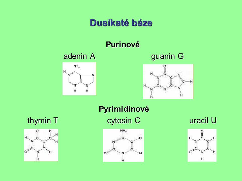 Dusíkaté báze Purinové adenin A guanin G adenin A guanin G Pyrimidinové thymin T cytosin C uracil U thymin T cytosin C uracil U