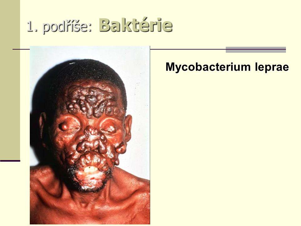 1. podříše: Baktérie Mycobacterium leprae