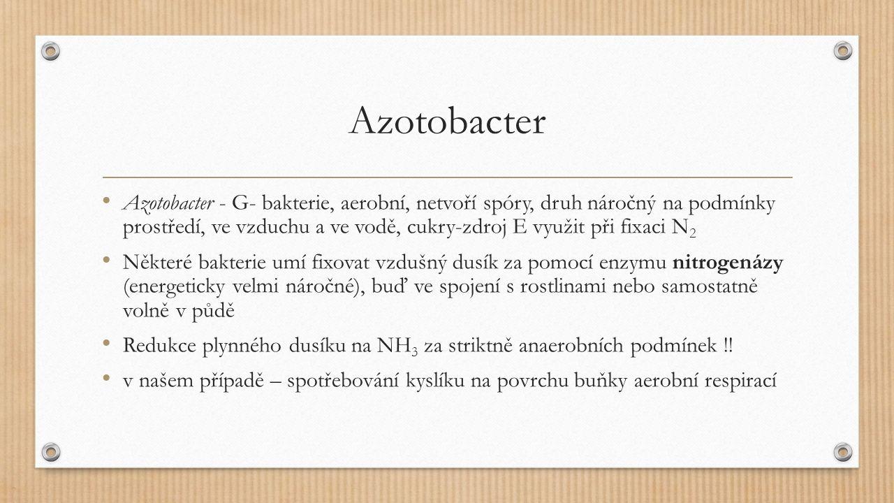 Azotobacter Azotobacter - G- bakterie, aerobní, netvoří spóry, druh náročný na podmínky prostředí, ve vzduchu a ve vodě, cukry-zdroj E využit při fixaci N 2 Některé bakterie umí fixovat vzdušný dusík za pomocí enzymu nitrogenázy (energeticky velmi náročné), buď ve spojení s rostlinami nebo samostatně volně v půdě Redukce plynného dusíku na NH 3 za striktně anaerobních podmínek !.