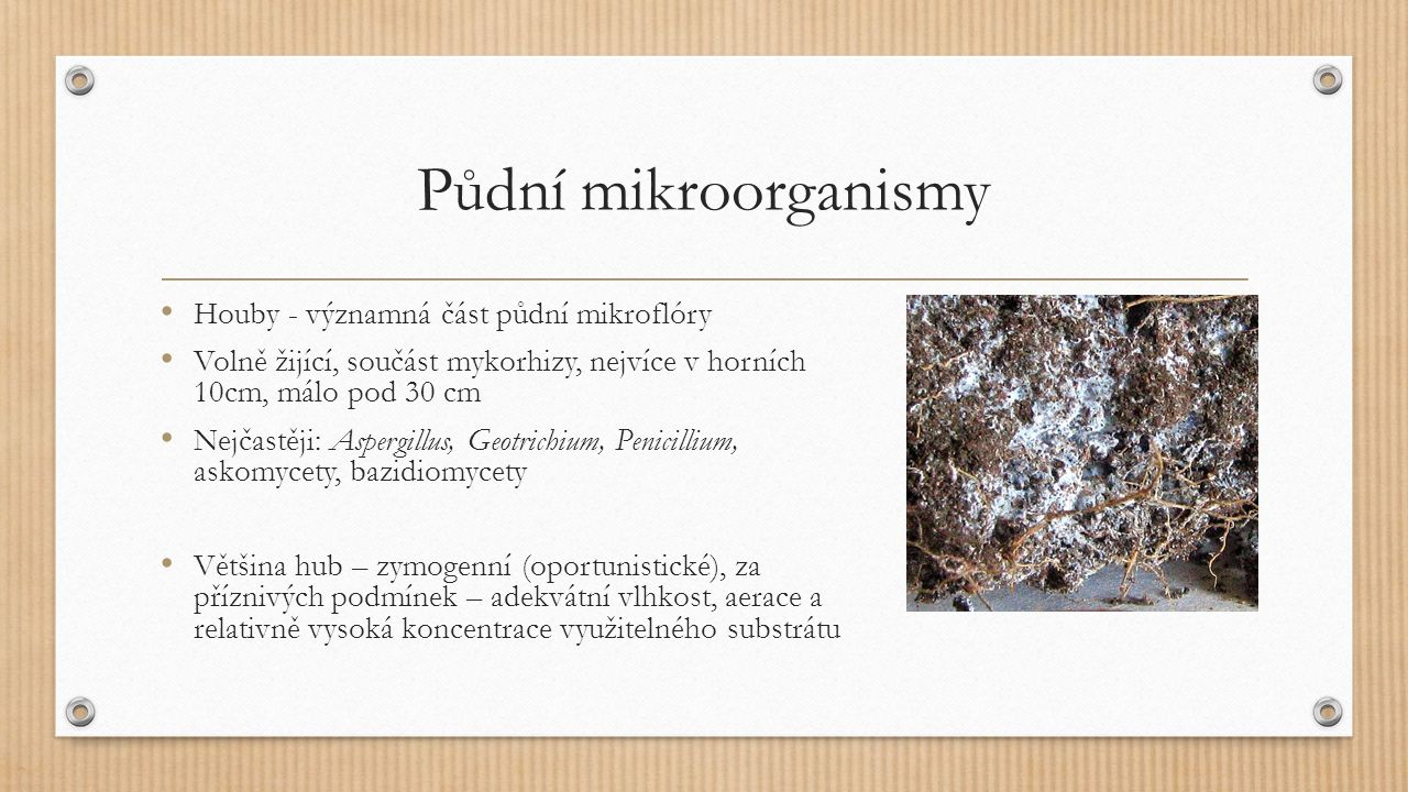 Půdní mikroorganismy Houby - významná část půdní mikroflóry Volně žijící, součást mykorhizy, nejvíce v horních 10cm, málo pod 30 cm Nejčastěji: Aspergillus, Geotrichium, Penicillium, askomycety, bazidiomycety Většina hub – zymogenní (oportunistické), za příznivých podmínek – adekvátní vlhkost, aerace a relativně vysoká koncentrace využitelného substrátu