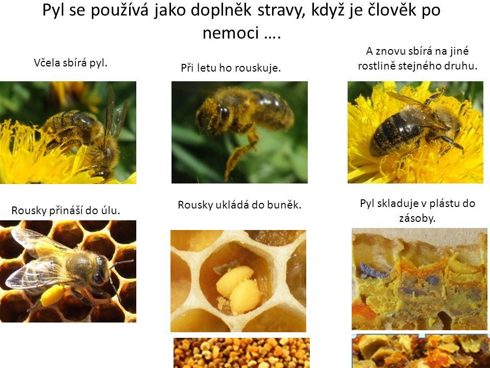 Pyl se používá jako doplněk stravy, když je člověk po nemoci …. Včela sbírá pyl. Při letu ho rouskuje. A znovu sbírá na jiné rostlině stejného druhu.