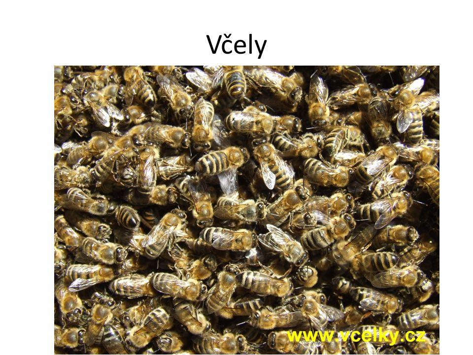 Pohlaví včel V každém roji je 1 královna, desítky trubců a desetitisíce dělnic.