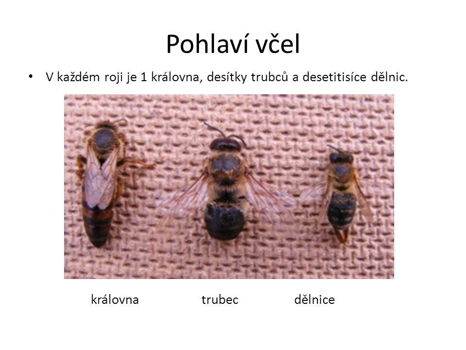 Pohlaví včel V každém roji je 1 královna, desítky trubců a desetitisíce dělnic. královna trubec dělnice