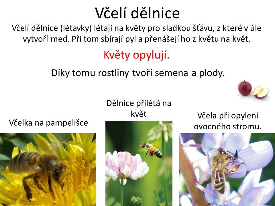 Včelí dělnice Včelí dělnice (létavky) létají na květy pro sladkou šťávu, z které v úle vytvoří med. Při tom sbírají pyl a přenášejí ho z květu na květ