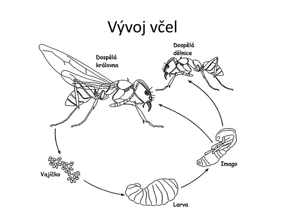 Úkoly včel Královna klade do včelích mřížek oplodněná vajíčka z kterých se líhnou včelí larvy.
