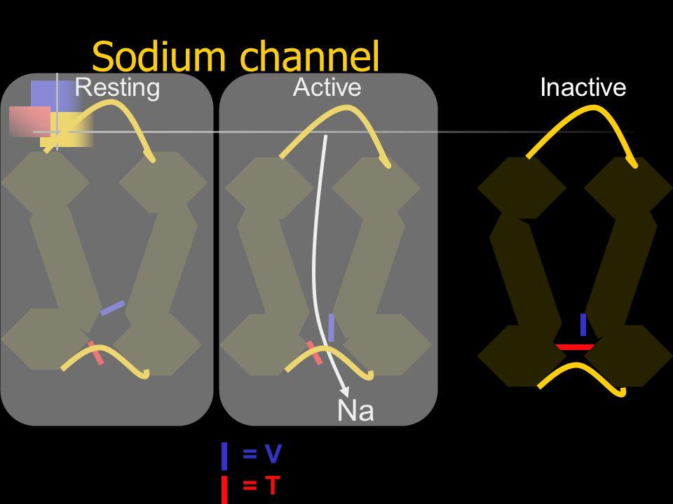 Sodium channel Na = V = T RestingActiveInactive