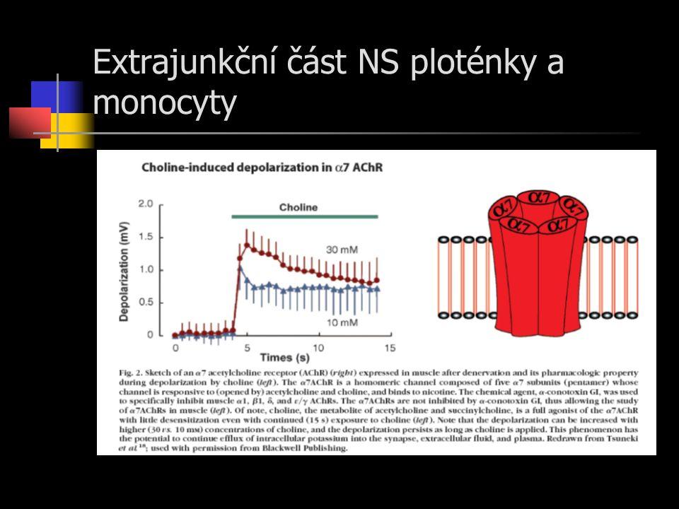 Extrajunkční část NS ploténky a monocyty