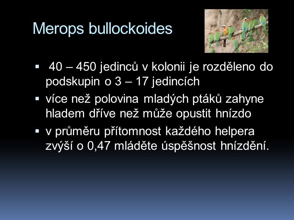 Merops bullockoides  40 – 450 jedinců v kolonii je rozděleno do podskupin o 3 – 17 jedincích  více než polovina mladých ptáků zahyne hladem dříve než může opustit hnízdo  v průměru přítomnost každého helpera zvýší o 0,47 mláděte úspěšnost hnízdění.