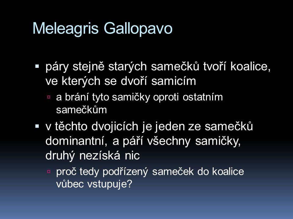 Meleagris Gallopavo  páry stejně starých samečků tvoří koalice, ve kterých se dvoří samicím  a brání tyto samičky oproti ostatním samečkům  v těchto dvojicích je jeden ze samečků dominantní, a páří všechny samičky, druhý nezíská nic  proč tedy podřízený sameček do koalice vůbec vstupuje?