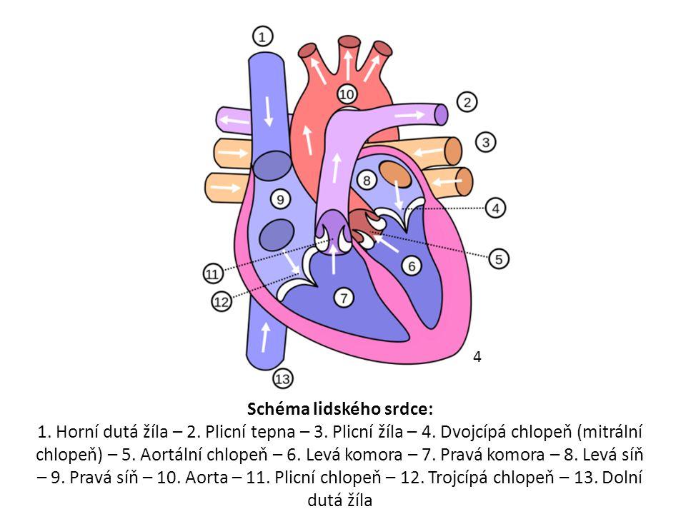 Schéma lidského srdce: 1. Horní dutá žíla – 2. Plicní tepna – 3.