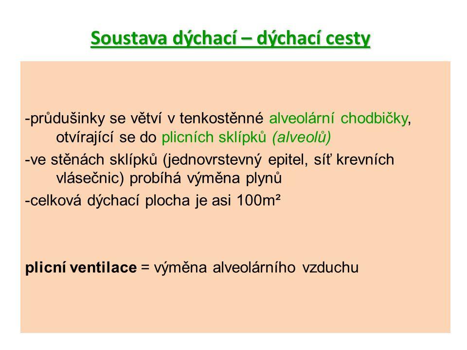 Soustava dýchací – dýchací cesty -průdušinky se větví v tenkostěnné alveolární chodbičky, otvírající se do plicních sklípků (alveolů) -ve stěnách sklípků (jednovrstevný epitel, síť krevních vlásečnic) probíhá výměna plynů -celková dýchací plocha je asi 100m² plicní ventilace = výměna alveolárního vzduchu