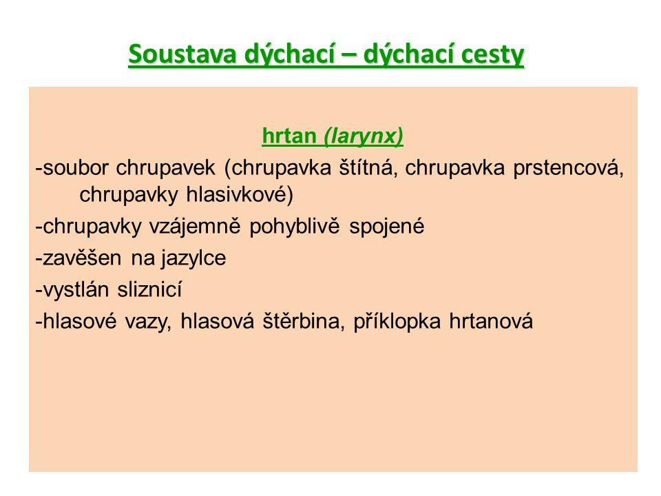 Soustava dýchací – dýchací cesty hrtan (larynx) -soubor chrupavek (chrupavka štítná, chrupavka prstencová, chrupavky hlasivkové) -chrupavky vzájemně pohyblivě spojené -zavěšen na jazylce -vystlán sliznicí -hlasové vazy, hlasová štěrbina, příklopka hrtanová