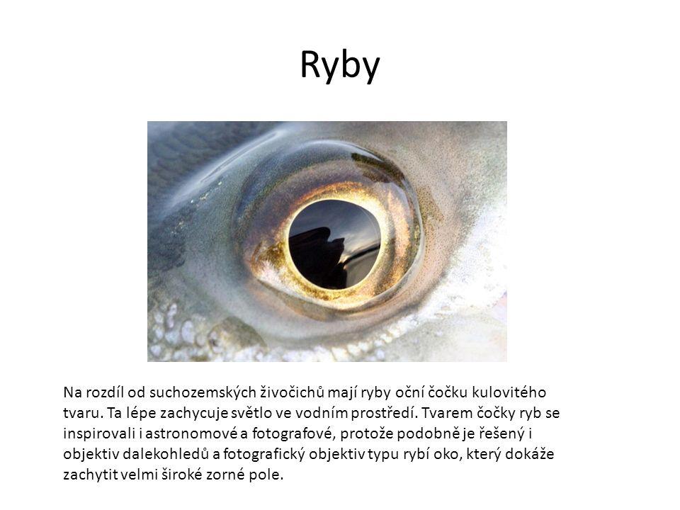 Ryby Na rozdíl od suchozemských živočichů mají ryby oční čočku kulovitého tvaru.