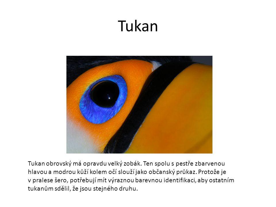 Tukan Tukan obrovský má opravdu velký zobák.