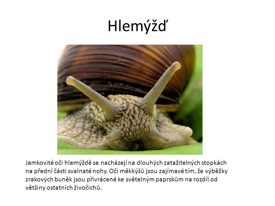 Hlemýžď Jamkovité oči hlemýždě se nacházejí na dlouhých zatažitelných stopkách na přední části svalnaté nohy.