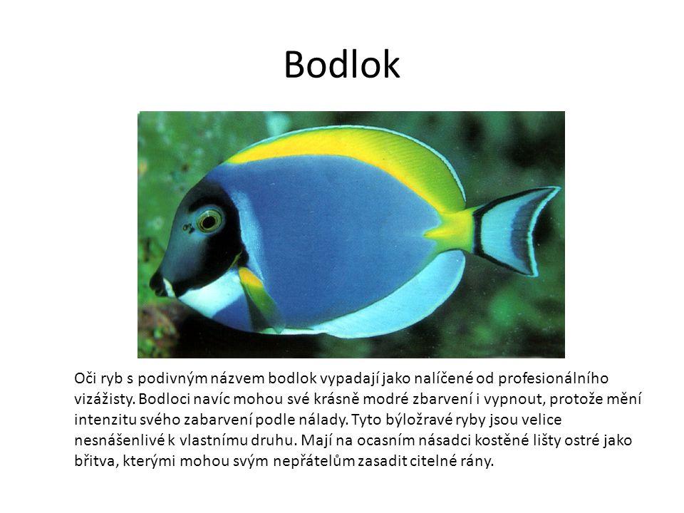 Bodlok Oči ryb s podivným názvem bodlok vypadají jako nalíčené od profesionálního vizážisty.
