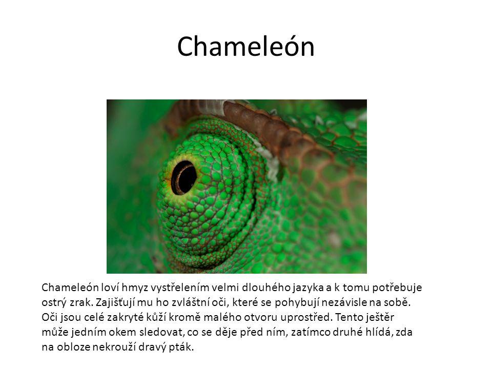 Chameleón Chameleón loví hmyz vystřelením velmi dlouhého jazyka a k tomu potřebuje ostrý zrak.