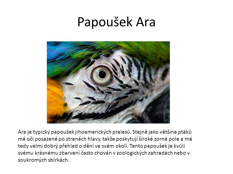 Papoušek Ara Ara je typický papoušek jihoamerických pralesů.