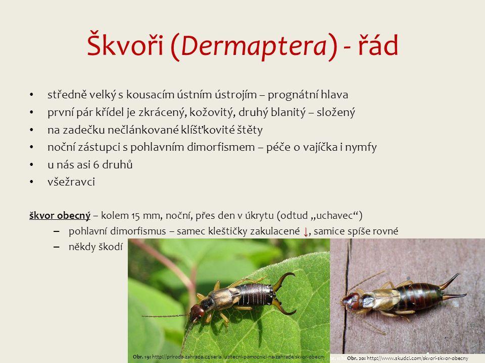 """Škvoři (Dermaptera) - řád středně velký s kousacím ústním ústrojím – prognátní hlava první pár křídel je zkrácený, kožovitý, druhý blanitý – složený na zadečku nečlánkované klíšťkovité štěty noční zástupci s pohlavním dimorfismem – péče o vajíčka i nymfy u nás asi 6 druhů všežravci škvor obecný – kolem 15 mm, noční, přes den v úkrytu (odtud """"uchavec ) ↓ – pohlavní dimorfismus – samec kleštičky zakulacené ↓, samice spíše rovné – někdy škodí Obr."""