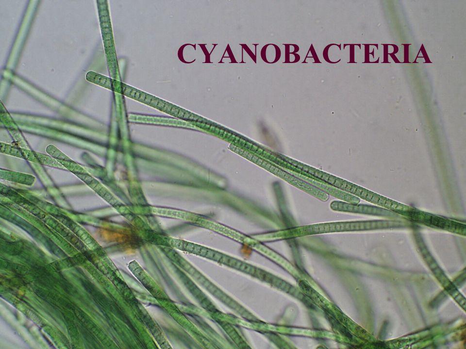 Cyanobacteria/Cyanophyta Prokaryotické rostliny Pravděpodobný vznik – před 3-3,8 mld lety Autotrofní ( nejčastěji fototrofní ) Jednobuněčné i vláknité Široká ekologická amplituda Značně adaptabilní a flexibilní organismy