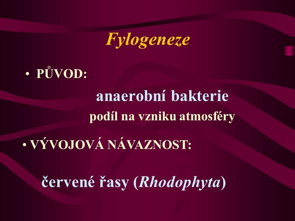Fylogeneze PŮVOD: anaerobní bakterie podíl na vzniku atmosféry VÝVOJOVÁ NÁVAZNOST: červené řasy (Rhodophyta)