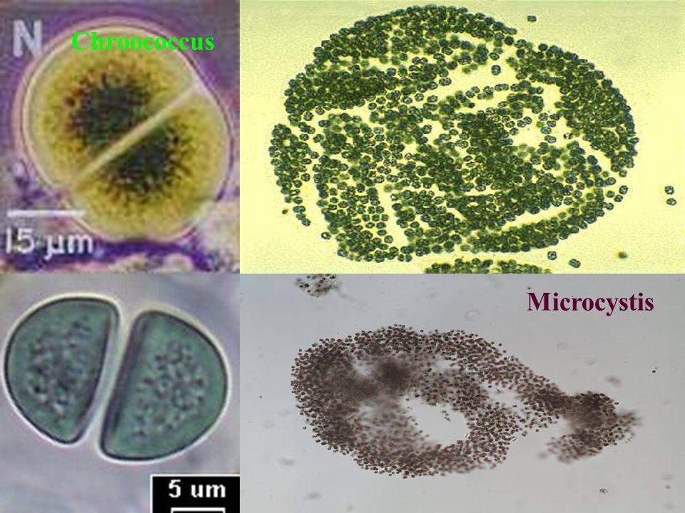Microcystis Chroococcus
