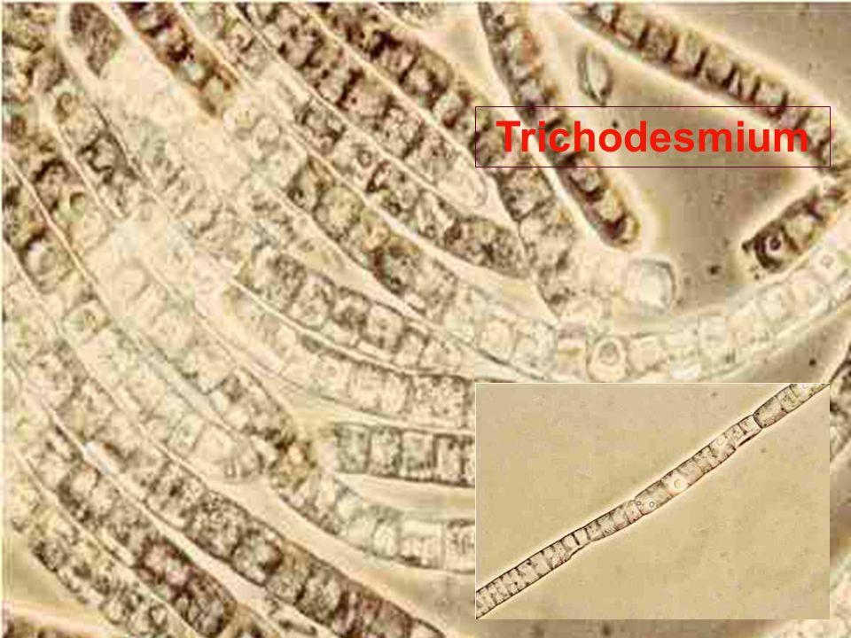 Trichodesmium
