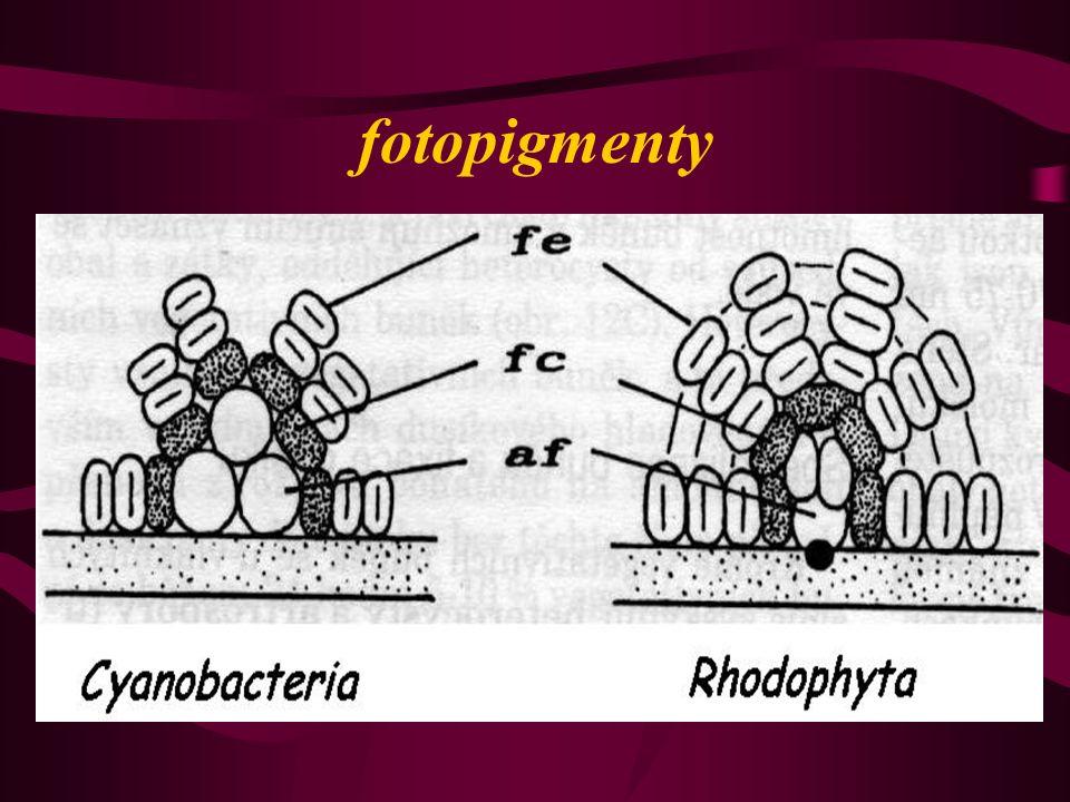 zásobní látka SINICOVÝ ŠKROB – zrna v cytoplazmě (  -1,4 polyglukan) chemosyntéza Zdroj živin: H 2 S ze dna rybníků