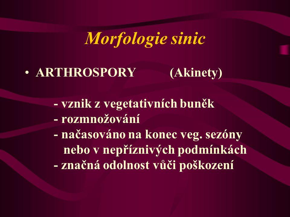 Morfologie sinic ARTHROSPORY(Akinety) - vznik z vegetativních buněk - rozmnožování - načasováno na konec veg. sezóny nebo v nepříznivých podmínkách -