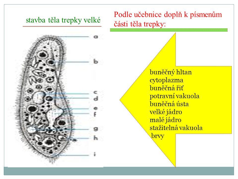 stavba těla trepky velké Podle učebnice doplň k písmenům části těla trepky: buněčný hltan cytoplazma buněčná řiť potravní vakuola buněčná ústa velké j