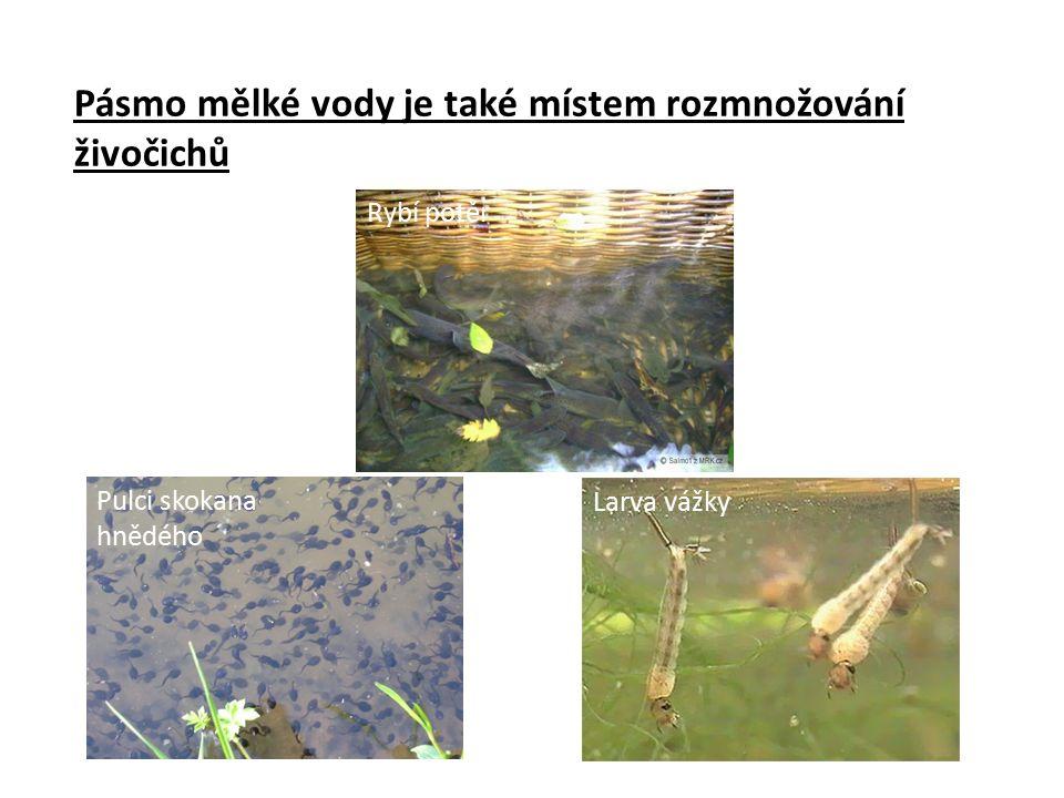 Pásmo mělké vody je také místem rozmnožování živočichů Pulci skokana hnědého Larvy komára Larva vážky Rybí potěr