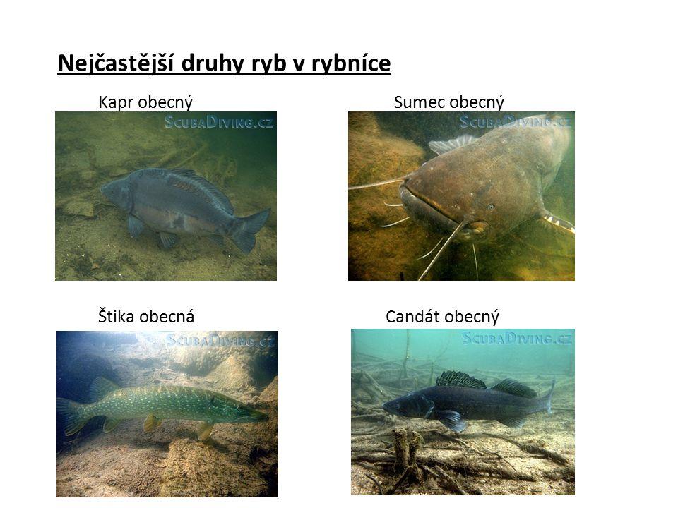 Nejčastější druhy ryb v rybníce Kapr obecnýSumec obecný Štika obecnáCandát obecný