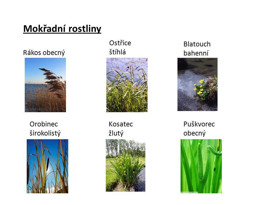 Mokřadní rostliny Rákos obecný Orobinec širokolistý Blatouch bahenní Puškvorec obecný Ostřice štíhlá Kosatec žlutý