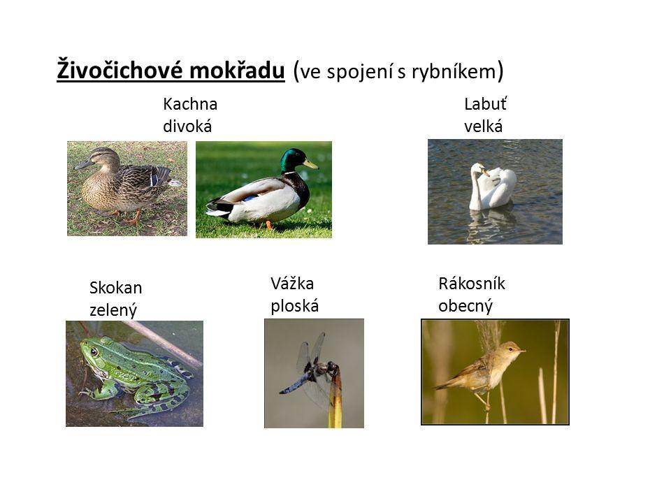 Živočichové mokřadu ( ve spojení s rybníkem ) Kachna divoká Labuť velká Skokan zelený Vážka ploská Rákosník obecný