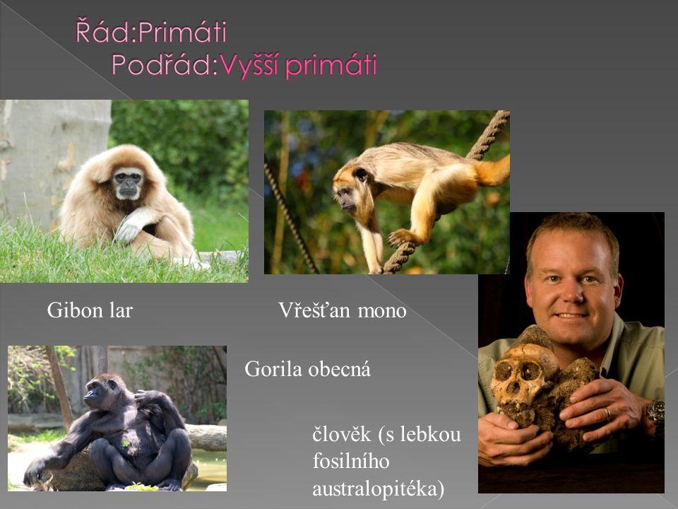 Gibon lar Vřešťan mono Gorila obecná člověk (s lebkou fosilního australopitéka)