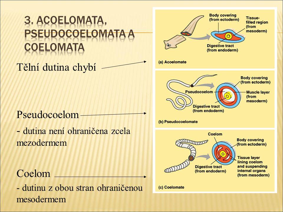 Tělní dutina chybí Pseudocoelom - dutina není ohraničena zcela mezodermem Coelom - dutinu z obou stran ohraničenou mesodermem