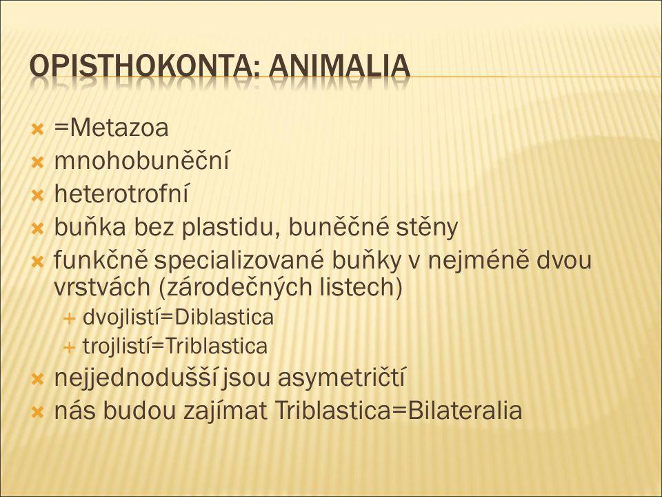  =Metazoa  mnohobuněční  heterotrofní  buňka bez plastidu, buněčné stěny  funkčně specializované buňky v nejméně dvou vrstvách (zárodečných listech)  dvojlistí=Diblastica  trojlistí=Triblastica  nejjednodušší jsou asymetričtí  nás budou zajímat Triblastica=Bilateralia