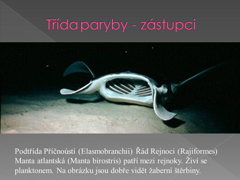 Podtřída Příčnoústí (Elasmobranchii) Řád Rejnoci (Rajiformes) Manta atlantská (Manta birostris) patří mezi rejnoky.